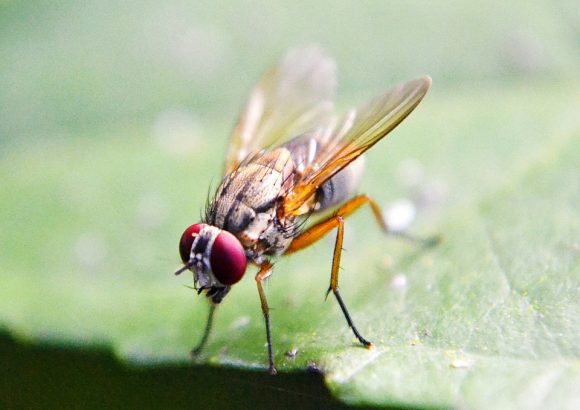 fruit-fly-219392_960_720