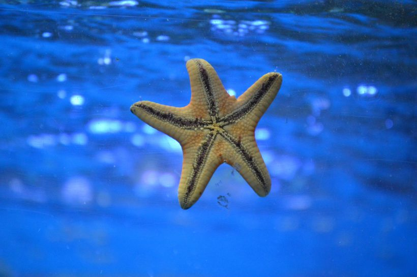 Why We Should Not Lift Starfish Out Of The Water: It's Fatal!