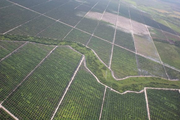 oil palm plantation by glennhurowitz
