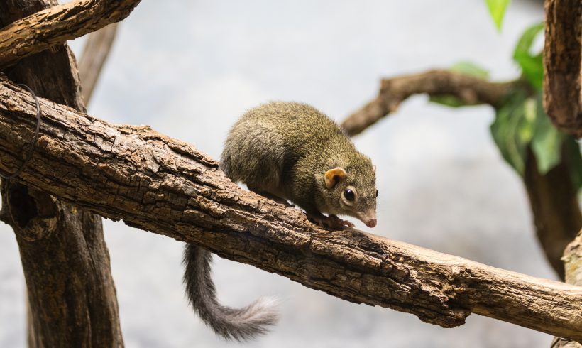 Some People Hate It, But Tree Shrews Love Spicy Foods A Lot