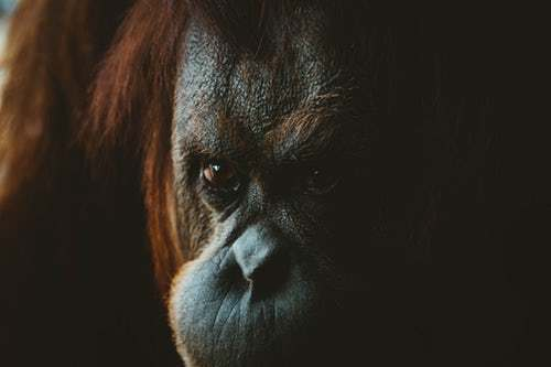 Is There Such Thing As Eco-Friendly Palm Oil? Ask Orangutans