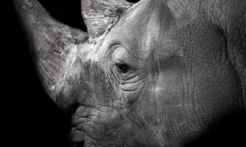 Is It A Good Idea To Introduce Rhinoceros To Australia?