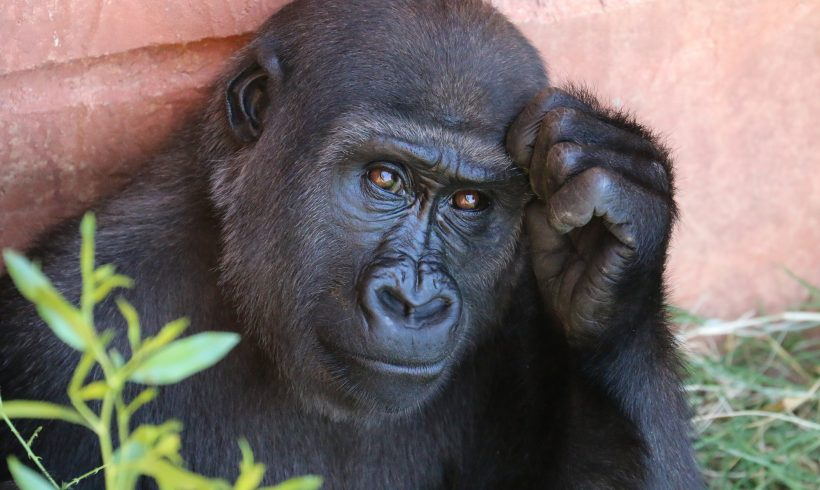 Which One Is Sleeping In Cleaner Bed, Human Or Chimpanzees?