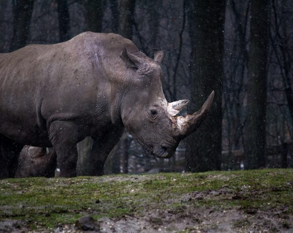 Saving Rhinoceros In The Most Extreme Way: Dehorning Them