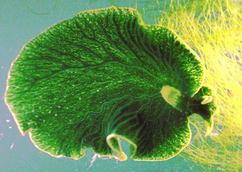 seaslug (interesting engineering)