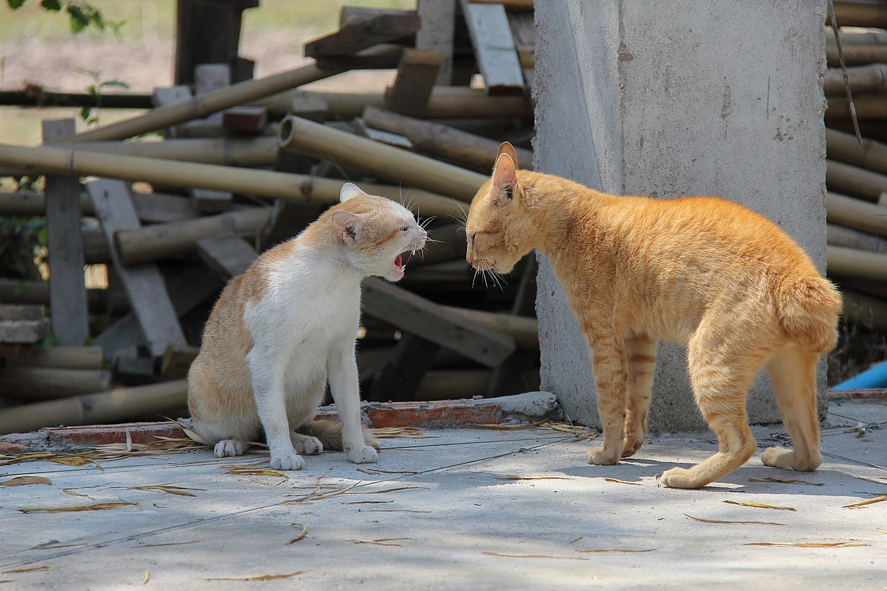 two male cats showing aggression by Basile Morin Wikimedia Commons