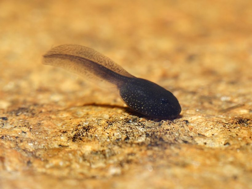 Biologists Found The Hugest Tadpole You Will Ever See!