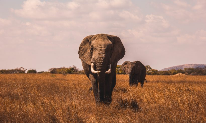 Elephants Have More Cells, But Why Cancers Rarely Strike Them?