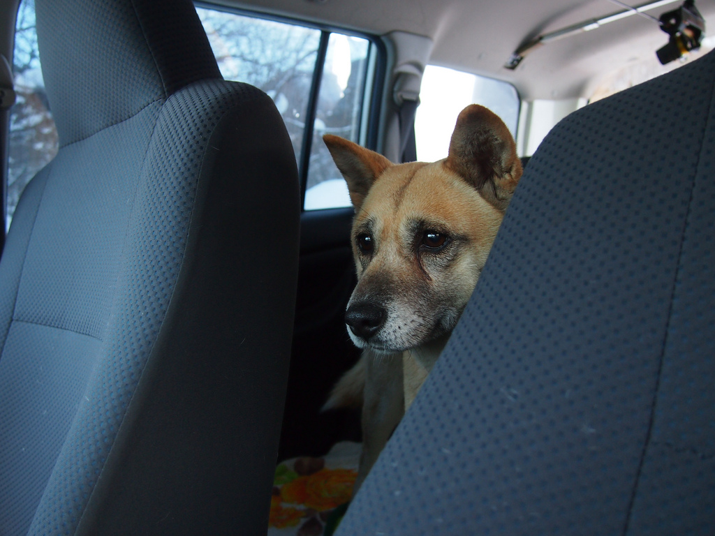 dog in car 2