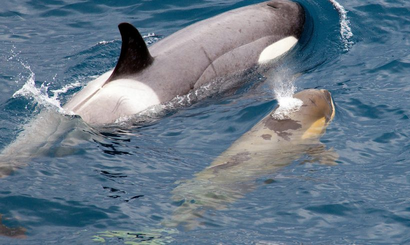 Mother Orca Showed Love By Dragging Deceased Calf In Record  Time