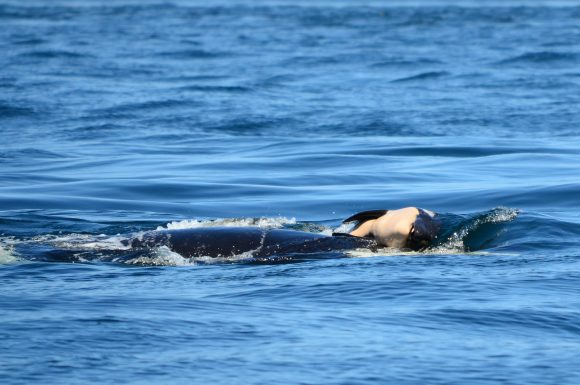 mother-orca-with-dead-calf 2 (Center Of Whale Research)