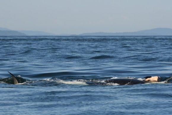 mother-orca-with-dead-calf  (Center Of Whale Research)
