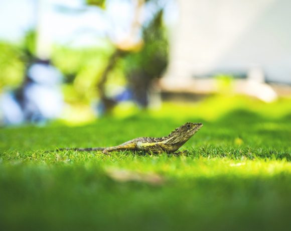 Lizards' Amazing Body Restoration And How Far Are We From Adopting It