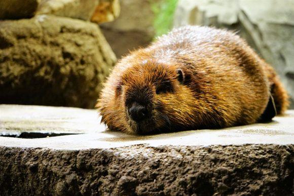 Animal Take A Nap Beaver Cute