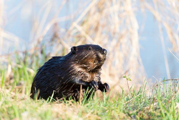 Canadian Beaver Animal