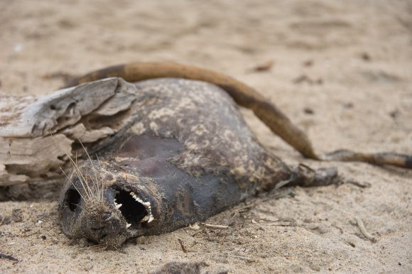 Dead sea lion by Oliver Dodd