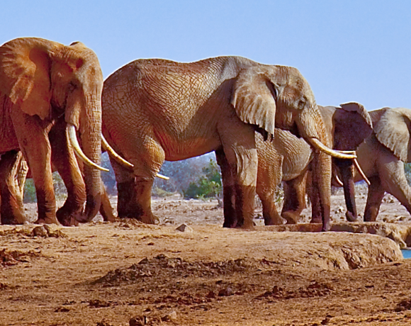 Elephants Are Serving The Nature, Even After Death Arrives