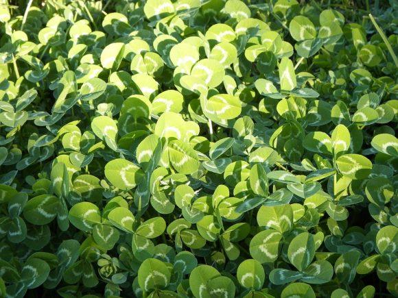 Green Lawn Meadow Clover