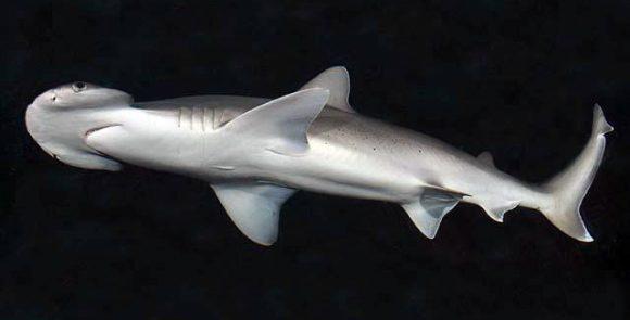 Sphyrna_tiburo_SI (Wikimedia Commons)