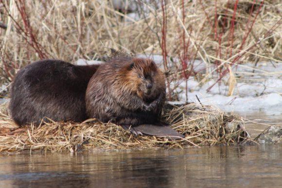 beaver dam prevents wildfire