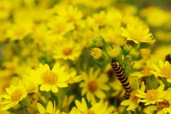 caterpillar on ragwort
