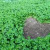 Replacing Your Grass Lawn With Clover, Why Not?