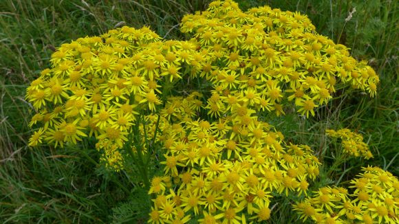 ragwort by Chris Morriss