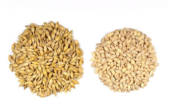Barley_Seeds (Wikimedia Commons)