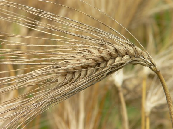 Korea-Barley (Wikimedia Commons)