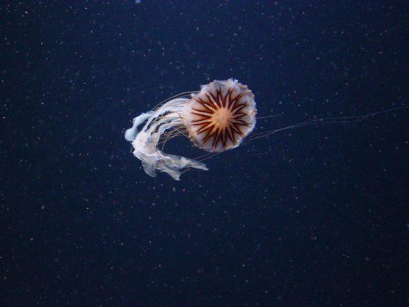 melanaster-jellyfish_800