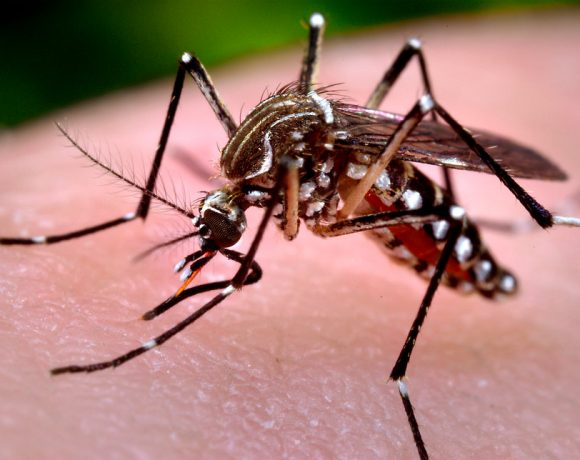 Microplastic In Mosquitoes: A Terror From The Sky