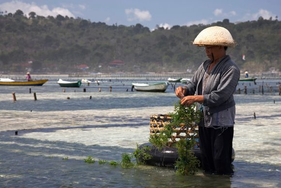 seaweed farming (WIkimedia Commons)