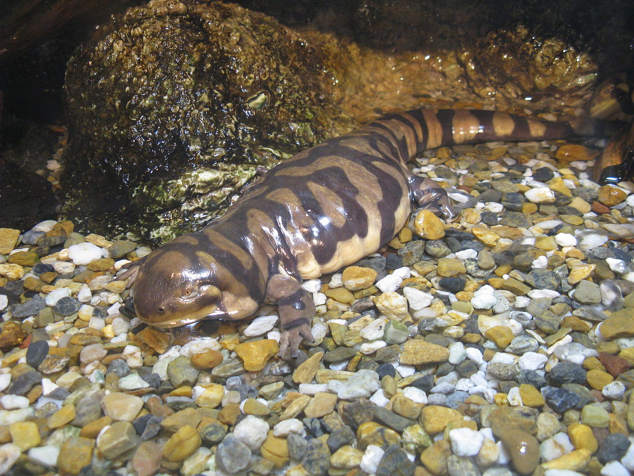 Barred tiger salamander by KENPEI Wikimedia Commons