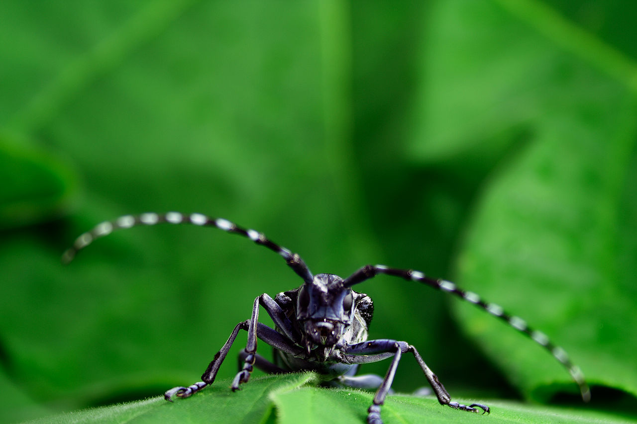 Asian long-horned beetle by Kyle Ramirez Wikimedia Commons