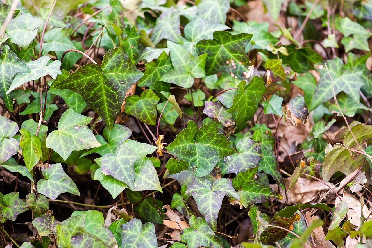 English ivy by Melissa McMasters Wikimedia Commons