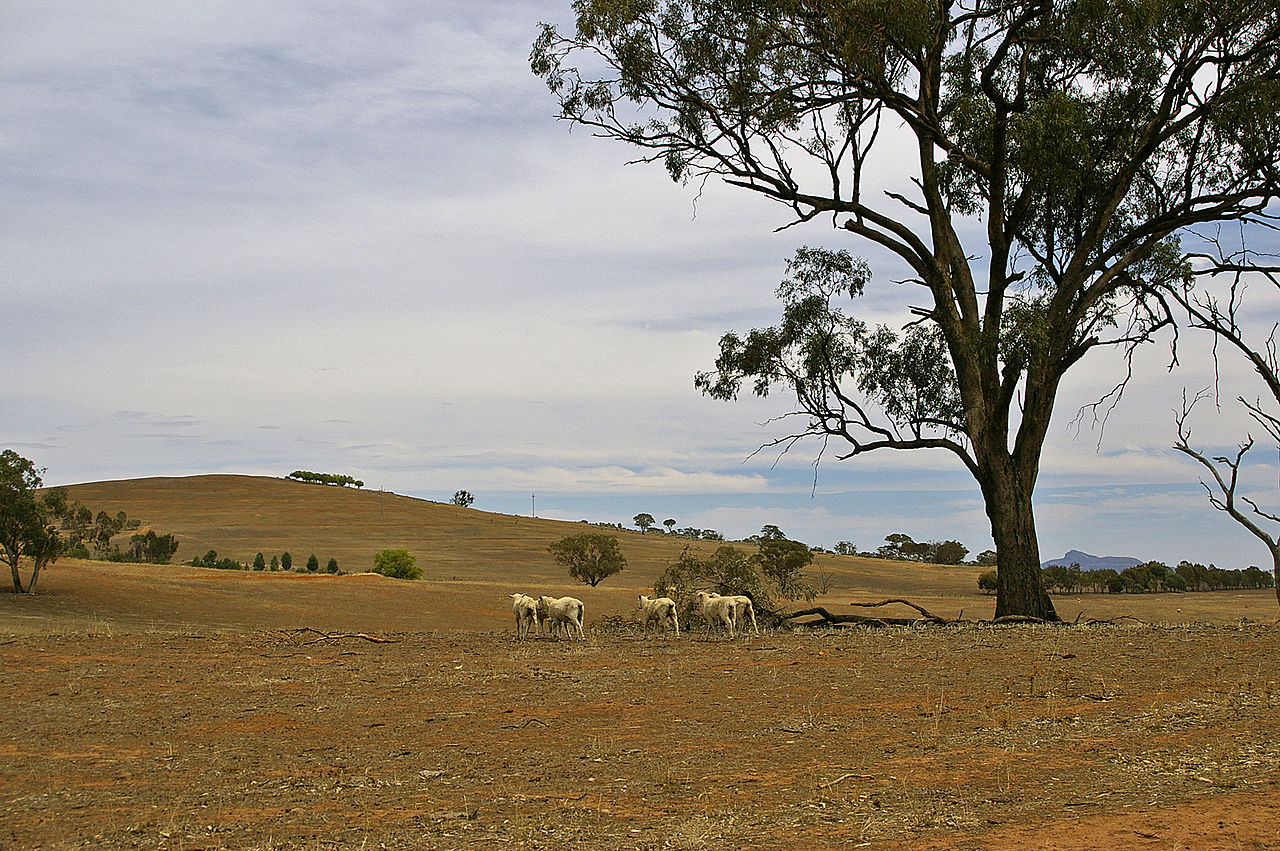 Sheep on a drought-affected paddock by Bidgee Wikimedia Commons