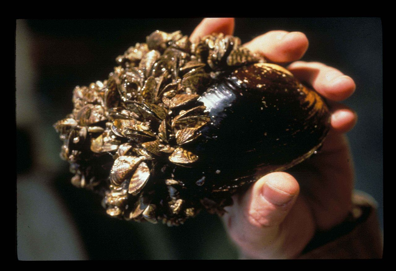 Zebra mussels (the tiny ones) on native mussel