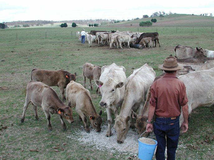 Cattle fed with cotton seeds in New South Wales during drought by Cgoodwin Wikimedia Commons