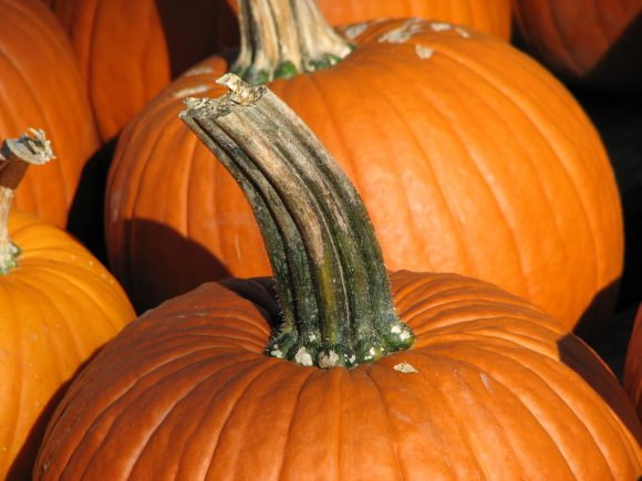 Pumpkin_stem (Wikimedia Commons)