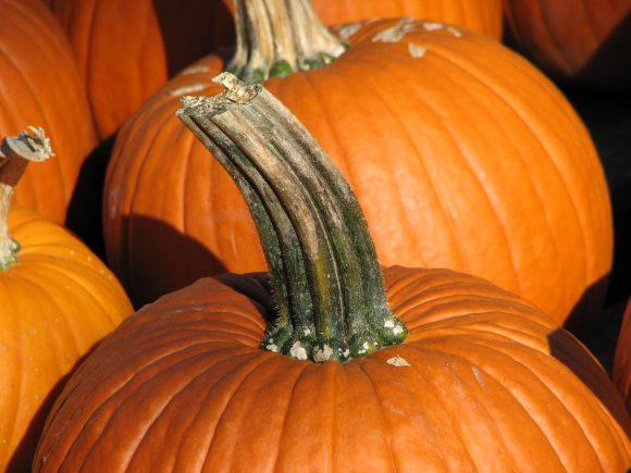 Pumpkin_stem (Wikimedia Commons)