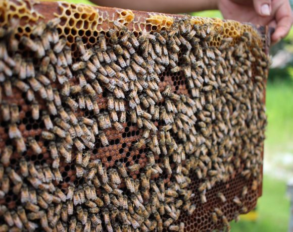 A Mushroom Extract Could be a Natural Vaccine to Save the Bees