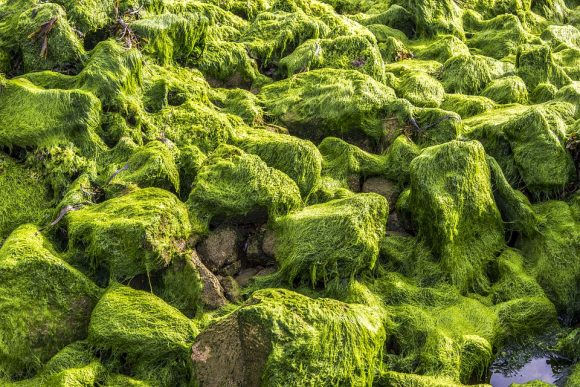 algae green brittany