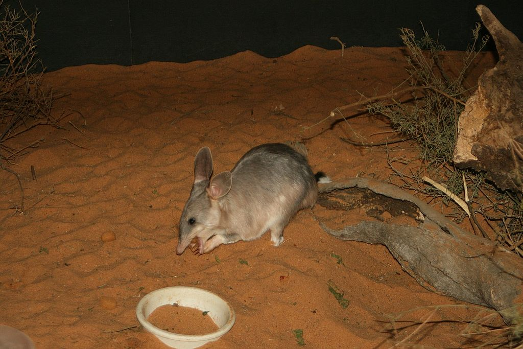 Bilby by Stephenentrepreneur Wikimedia Commons