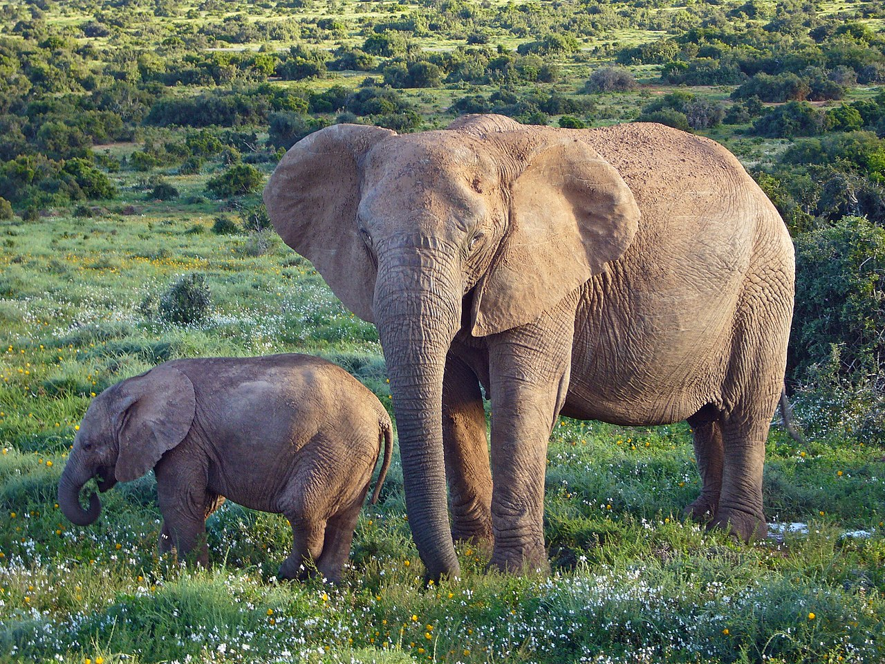 a tuskless African Bush Elephant with a calf