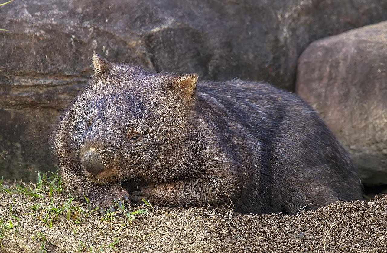 Wombat by Sheba_Also Wikimedia Commons