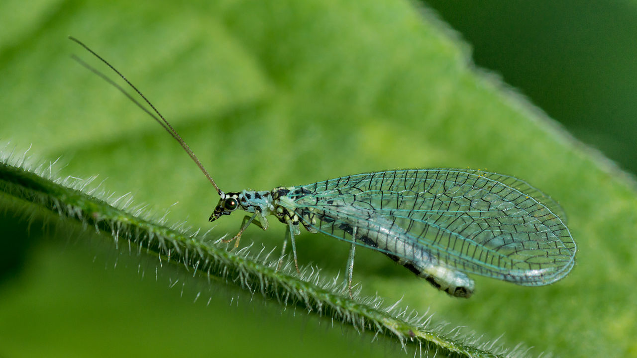 green lacewings by Mathias Krumbholz Wikimedia Commons