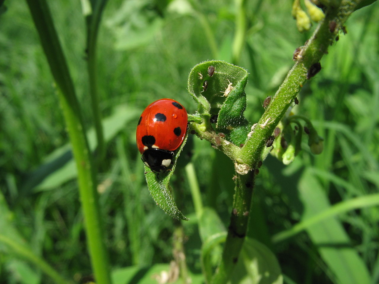 ladybug by Greyson Orlando Wikimedia Commons