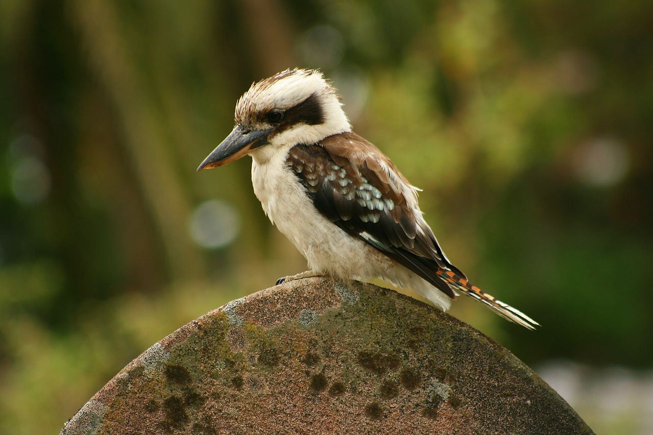 Laughing Kookaburra by Toby Hudson Wikimedia Commons