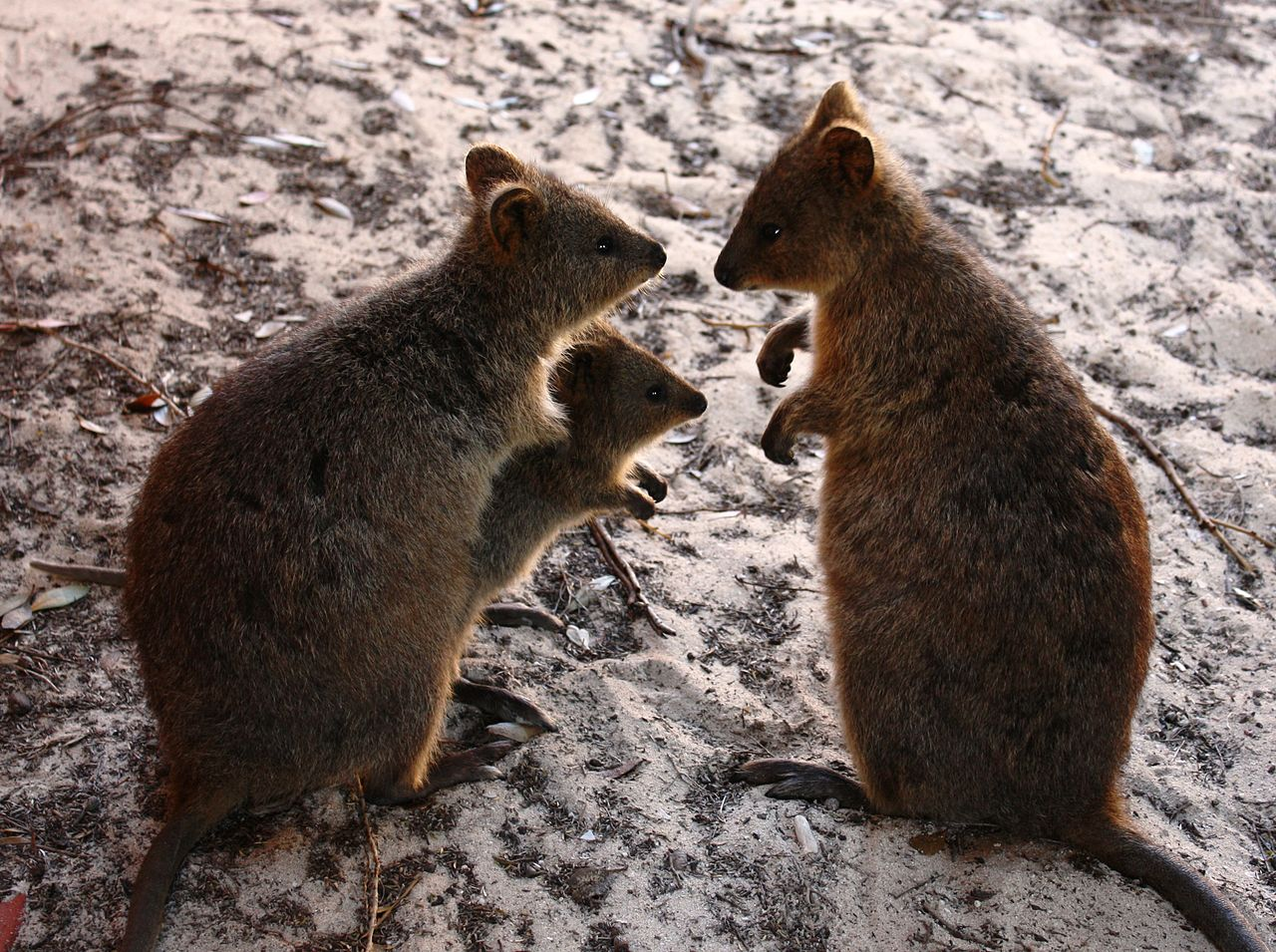 Quokka family by Hesperian Wikimedia Commons