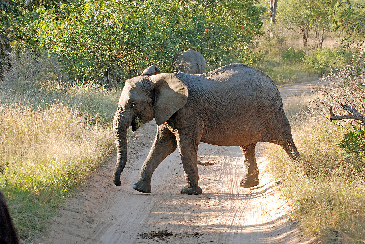 a tuskless elephant by Harvey Barrison Wikimedia Commons